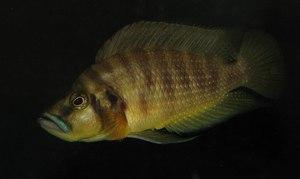 Altolamprologus compressiceps Mutondwe
