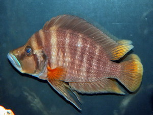 Altolamprologus compressiceps Red Fin