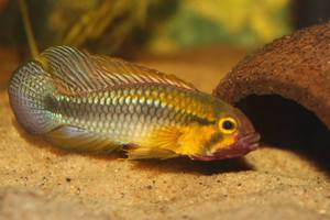 Apistogramma sp Abacaxis