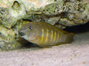 Eretmodus Cyanostictus kipili