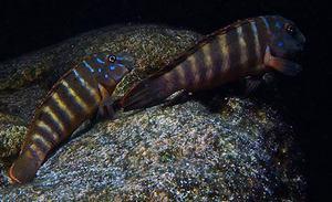 Eretmodus spec. Ubwari, photo Van Der Lemmoh