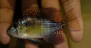 Gymnogeophagus sp. Acegua from Rio Negro north east Uruguay by the border to Brazil