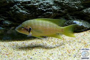 Neolamprologus brichardi Nekondwe yellow