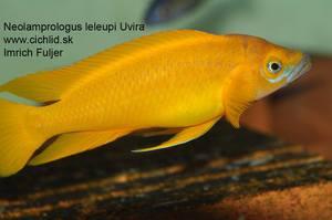 Neolamprologus leleupi Uvira
