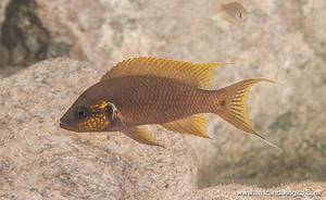 "Neolamprologus pulcher ""Princess Gold"" (Kasola Island)"