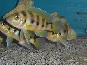 Neolamprologus sexfasciatus gold Kipili