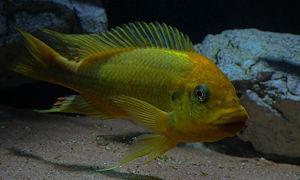 Petrochromis sp.Moshi