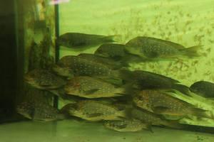Petrochromis trewavasae c Cichlidenland