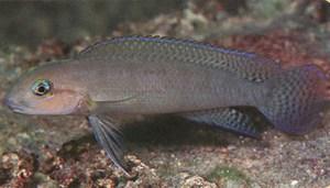 Telmatochromis brachygnathus Mtosi