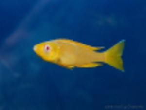 Cyprichromis_leptosoma_jumbo_Kitumba_albino_foto_by_Grenge_from_cichlids.ru_2-100px