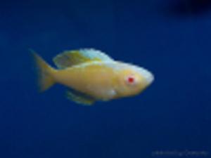 Cyprichromis_leptosoma_jumbo_Kitumba_albino_foto_by_Grenge_from_cichlids.ru_3-100px