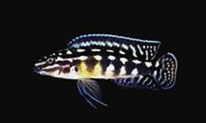 Julidochromis_marlieri