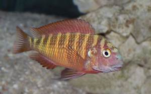 Tropheus sp. Red (Chimba)